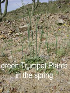 Trumpet Plants Grow in Mineral Soils - Gold does too